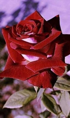 This Beautiful Rose is for My beloved AuntGrandMother.