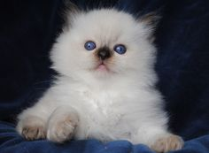 Ragdoll cats and kittens Photo Gallery. Ragdoll cat breeders in Ohio. Ragdoll Cat Breeders, Ragdoll Kittens For Sale, Munchkin Kitten, Kitten Breeds, Ragdoll Cats, Kittens Cutest, Cats And Kittens, Cute Cats, Funny Kittens