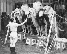 Atricia Bourne training lions to stand on their hind legs in the annual Bertram Mills Circus at Olympia, London, 1935.
