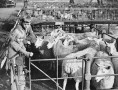 Evacuees getting acquainted with livestock and rural life after moving from London to agricultural market towns. Photo shows: Market day at Market Harborough, Leicestershire. Two young Londoners inspect sheep in pens at the market.