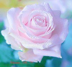 #природа #красота #весна #цветы #цветок #роза #роса #nature #beauty #spring #flowers #flower #rose #dew #like #me #like_me #follow #me #follow_me by tatiana_m_74