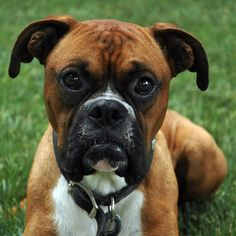 #Boxer #Dogs #Puppy