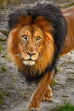 This is adult male lion, Luke, at the National Zoo in Washington, DC. Without a doubt he's the King of the Pride.