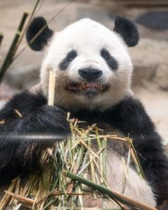 In the wild, giant pandas are only found in the remote, mountainous regions of central China, in Sichuan, Shaanxi (Qinling Mts)and Gansu provinces, according to the National Zoo. In this area, there are cool, wet bamboo forests that are perfect for the giant panda's needs.