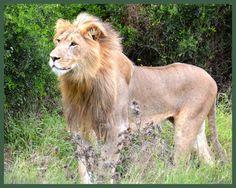 Lion, Addo Elephant Park, South Africa