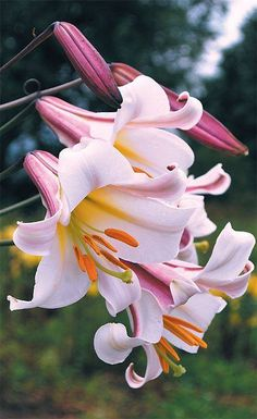 Lilium regale Trumpet Lily - one of my favorite flowers in the garden. Insanely fragrant and beautiful in late July. Exotic Flowers, Amazing Flowers, Pretty Flowers, Colorful Flowers, Pink Flowers, Beautiful Gorgeous, Lilies Flowers, Anemone Flower, Day Lilies