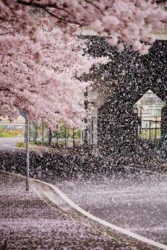 zekkei-beautiful-scenery: Cherry blossoms in Japan Sakura 桜咲く日本 世界の絶景 Zekkei Beautiful Breathtaking Scenery Beautiful Scenery, Beautiful Landscapes, Beautiful World, Beautiful Places, Cherry Blossom Japan, Japanese Cherry Blossoms, Cherry Blossom Meaning, Cherry Blossom Petals, Cherry Blossom Season