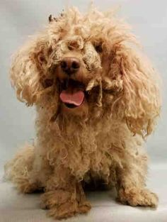 SUPER URGENT Manhattan Center ROBERTO – A1096139  MALE, WHITE, POODLE MIN MIX, 10 yrs OWNER SUR – EVALUATE, NO HOLD Reason PET HEALTH Intake condition EXAM REQ Intake Date 11/07/2016  http://nycdogs.urgentpodr.org/roberto-a1096139/