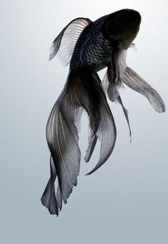 black goldfish. So beautiful. And just to be clear, it is NOT a beta! Ok? For all you people out there who might mistake this fish for a beta its a black goldfish. Thank you for your time.(::