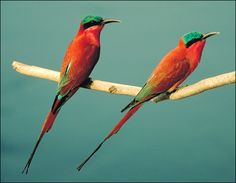 Carmine bee-eaters bring so much color to South Africa