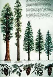 US Geography - West Coast Virtual Field Trip - Dr. Lew - NAU From left to right Sequoia Redwood (oldest trees), Coast Redwood (tallest trees), Douglas Fir, Port Orford Cedar, Sitka Spruce Redwood Tattoo, Tree Identification, Sitka Spruce, Virtual Field Trips, Cedar Trees, Tree Silhouette, Tree Art, Botanical Illustration, Trees To Plant