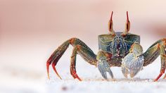 Bing Image Archive: Horned ghost crab on Bird Island in the Seychelles (© Ronald Wittek/Superstock)(Bing New Zealand)