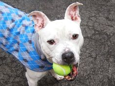 ♥ LUCKY IS FINALLY SAFE ♥  SUPER URGENT – LUCKY (A1024771), male white pit bull mix, 5 years old, 1-30-2015 Manhattan Center. A volunteer writes: Lucky is a sad pup in his cage but just sparkles with kindness and delight outside of the shelter... please, won't you give him a lifetime of that? One meeting with our Lucky boy and you will know that you are in fact the lucky one. Well, OK, both of you. Let it be so! ♥ http://dogarchives.urgentpodr.org/lucky-a1024771/