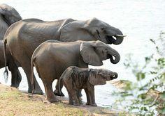 Elefantes en familia