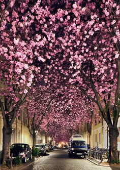Cherry Blossom in Bonn,Germany