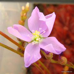 Admirabilis_Ceres_flower_hi.JPG (639×640)