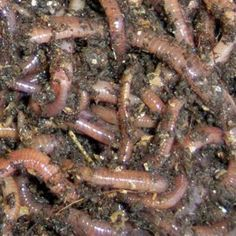 """10 Reasons Why Worm Farming Is A Great Idea For A Home Based Business Let's examine the top 10 reasons worm farming may be a good business idea for you to try in 2011 from the """"vermicompost and worm castings as fertilizer""""side of it. Farm Business, Home Based Business, Worm Beds, Worm Castings, Red Worms, Worm Composting, Earthworms, Farm Gardens, Urban Farming"""