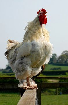 *A LITTLE BIT COUNTRY ~ Crowing Rooster