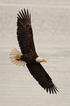 Finally finding the freedom to just be - Bald Eagle flying Photograph - Bald Eagle flying Fine Art Print