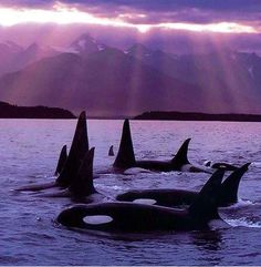 Known populations of killer whales are also found around New Zealand, where they eat a variety of prey. They are the only known group to regularly eat Stingrays, Eagle rays and Electric rays.