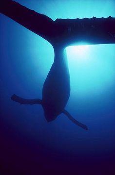 Humpback Whale                                                                                                                                                                                 More