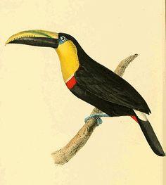 Zoological Illustrations Volume III Plate 168.jpg