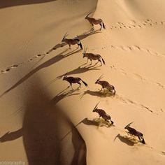 Gemsbok Herd, Northern Skeleton Coast, Namibia - Photography by Michael Poliza African Animals, African Safari, Aerial Photography, Wildlife Photography, Stunning Photography, Digital Photography, Kenya, Herd Of Elephants, Chobe National Park