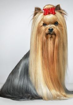 Yorkshire Terrier via stylist.co.uk #YorkshireTerrier