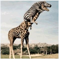 The 26 funniest pictures of animals riding other animals! Look at this great photo of a zebra riding a giraffe! Did you know you can you ride a giraffe? Pictures of cute animals always make me laugh beautiful cutest funny wild basteln lustig zeichnen Zebras, Animal Memes, Funny Animals, Crazy Animals, Funniest Animals, Animal Humor, Zoo Animals, Wild Animals, Funny Looking Animals