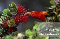 I'iwi, Vestiaria coccinea, feeding on 'Ohi'a lehua flowers, Metrosideros…