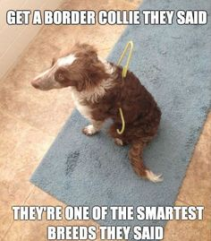 lol lol ... we 'ave 5 n all are workin' dogs who love havin' a job n purpose in life n treated n cared for like our kids. Somethimes, they're so smart n focused, they're jus' plain stupid n FUNNY!! No dog's made me laugh more than a Border!! <3 :)