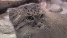 """Pas affectueux ? Boh, ça ne peut pas être pire que mon house cat à moi !  """"The Unfluffly Truth about Pallas Cats at Prospect Park Zoo"""""""