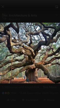 1500 years old Oak
