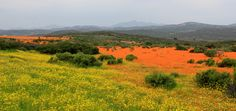 Namaqualand flowers - Every year in Namaqualand, South Africa, the land comes alive with the most magnificent display of flowers during springtime.