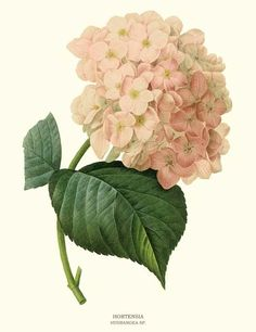 Hortensia  illustration by Pierre-Joseph Redoute - via Charting Nature http://www.chartingnature.com/flower-print.cfm/Hortensia-botanical-art-print/6764