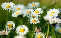 Beautiful daisies are waiting for you in this photo gallery. Daisy flowers are very natural. Maybe, they are not dazzling like other flowers. Spring Flowers Wallpaper, Flower Background Wallpaper, Flower Backgrounds, Frühling Wallpaper, Nature Wallpaper, Types Of Herbs, Growing Herbs, Medicinal Plants, Kraut