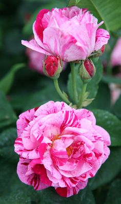 Rosa 'Ferdinand Pich