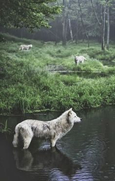 #connected  #nature  #connected with theundercurrent   Bohemian Diesel: AUTUMN OF WOLVES