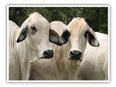 Brahman cows for the felted nativity critters.  Google Image Result for http://www.texasbrahmans.com/Brahman-Cows.png