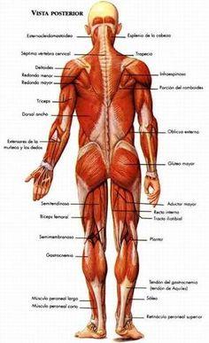 El sistema muscular - Monografias.com