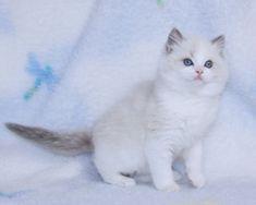 Ragdoll Kittens for Sale, | Catlana Ragdolls Cute Kittens For Sale, Ragdoll Kittens For Sale, Kitten For Sale, Kittens Cutest, Cute Cats, Beautiful Kittens, Newborn Kittens, Kitty, Animals