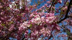 Decorative apple tree full of blossoms! Photo by T.R.