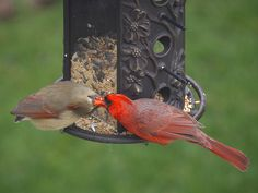 Backyard birds - Pair of Northern Cardinals
