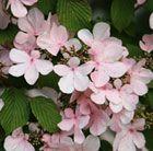 Viburnum plicatum  f. tomentosum 'Pink Beauty'