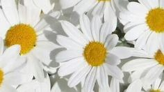 #daisies #nature #flowers