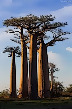 In Africa I was told a very sweet legend about how they got I love baobab trees! In Africa I was told a very sweet legend about how they got. -I love baobab trees! In Africa I was told a very sweet legend about how they got. Trees And Shrubs, Trees To Plant, Weird Trees, Baobab Tree, Unique Trees, Old Trees, Nature Tree, Tree Forest, Exotic Plants
