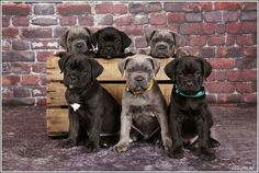 6 male cane corso pups, 6 weeks old. Photostudio Na-zen Holland italian corso dogs Cane Corso Italian Mastiff, Cane Corso Mastiff, Cane Corso Dog, Cane Corso Puppies, Lab Puppies, Chien Cane Corso, Cane Corso Kennel, Patterdale Terrier, Bully Dog