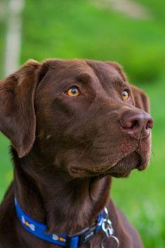 "CHOCOLATE LAB Street Sign dog pet labrador novelty purebred18/"""