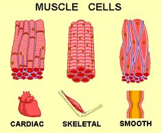 Growth hormone deficiency affects all muscle in the body ie normal muscle contraction and release stamina and distribution of ATP (emm) >> Human Muscle Anatomy, Human Anatomy And Physiology, Tissue Biology, Muscular System Anatomy, Musculoskeletal System, Human Body Systems, Medical Anatomy, Muscle Contraction, Growth Hormone