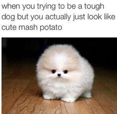 Pom puppy meme